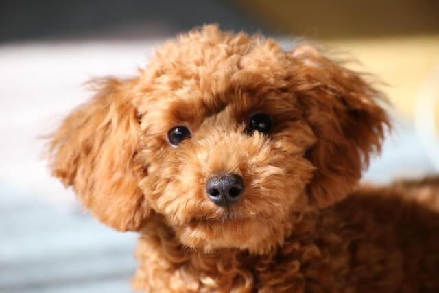 共働きでも飼いやすい犬種おすすめの4犬種