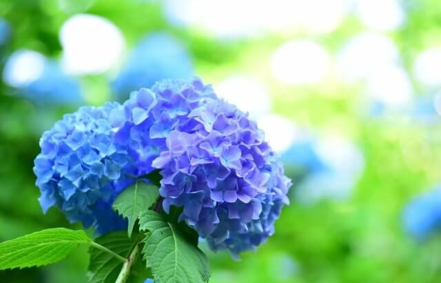 紫陽花の鉢植えを室内で育てる方法