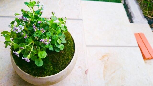 ミニ盆栽はロフトで買えます おすすめ6選【種から育てるのもあります】ネットでも買えます