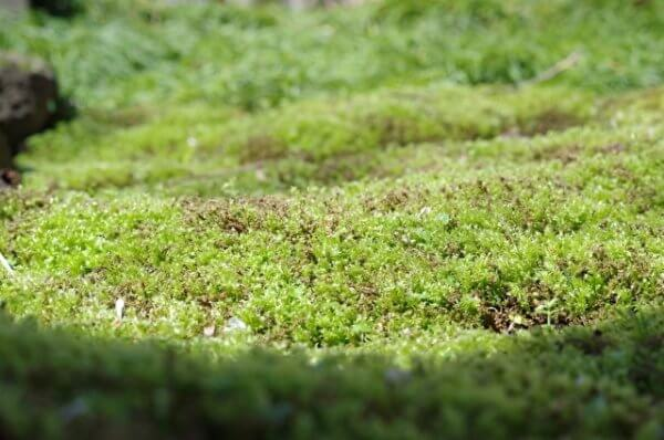 ミニ盆栽の苔が茶色になる原因と対策【そもそも苔は何のためにあるの?】
