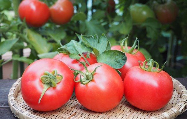 トマトの育て方!実がつかないのはなぜ?そうならないためには!